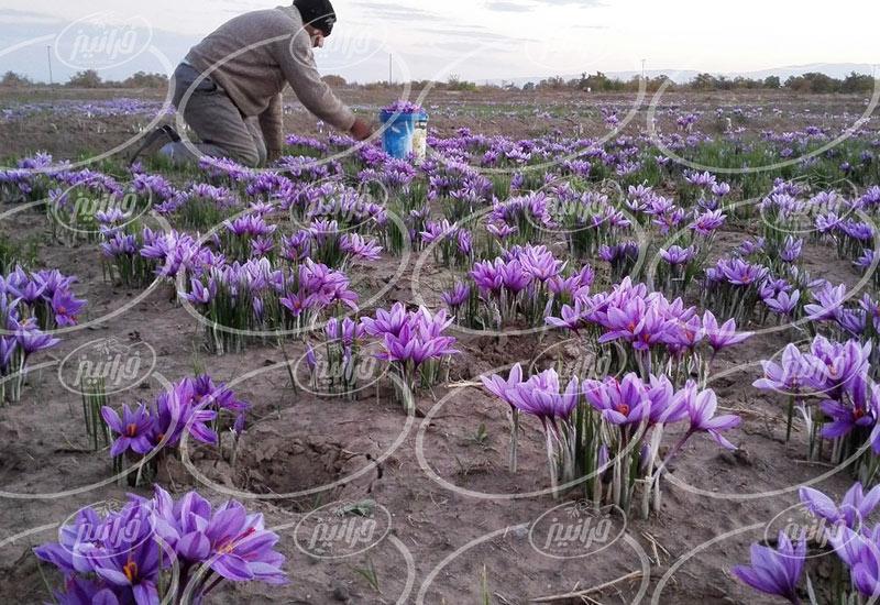 قیمت زعفران 5 گرمی سحرخیز صادراتی