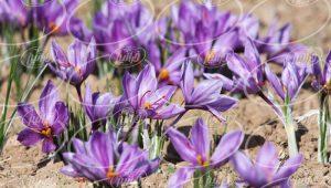 فروشندگان اصلی زعفران مثقالی در خراسان