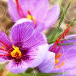 فروش تضمینی پودر زعفران قائنات درجه یک