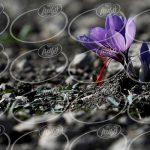 خرید پودر زعفران جدید با بسته بندی اعلا
