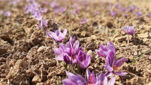قیمت 1 گرم زعفران برای تاجران زبده