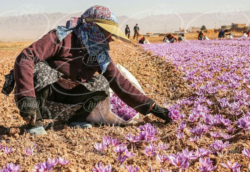 خرید پودر زعفران متین خراسان 5 گرم